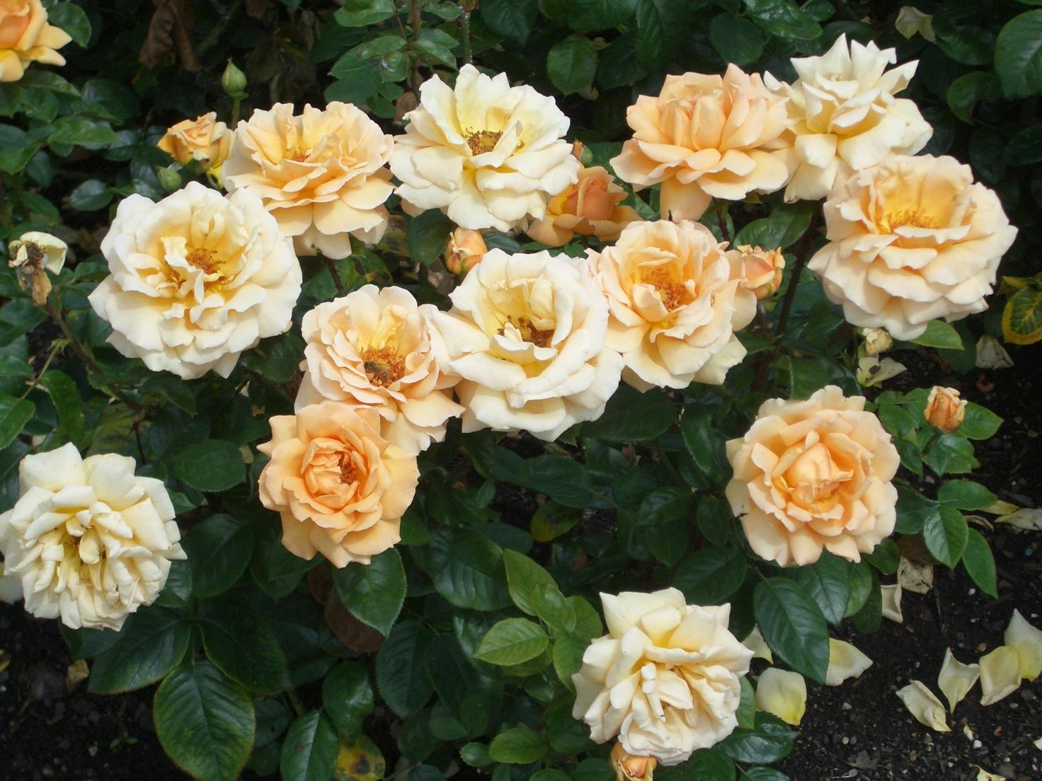 Queen Mary\'s Garden_a0137487_18424024.jpg
