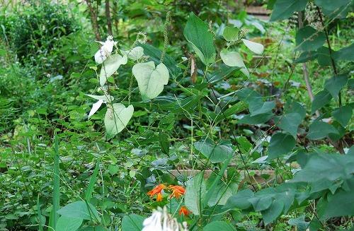 夏の涼し気な葉もの…_c0124100_1924767.jpg