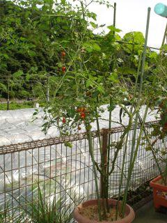 ミニトマト豊作! マコにこにこ!_e0166301_23343494.jpg