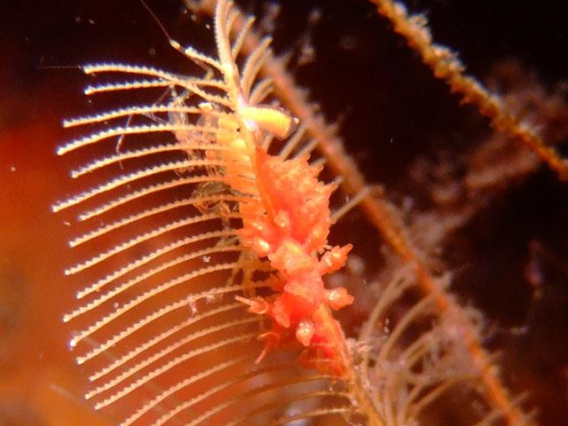 マツカサウミウシ属の1種1_b0156853_20501097.jpg