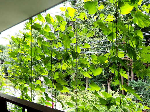 緑のカーテン_b0015157_0131836.jpg