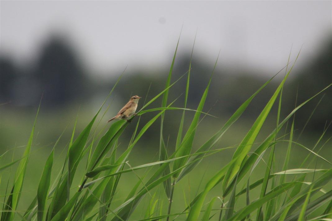 湿原のコヨシキリ_e0071967_23134881.jpg