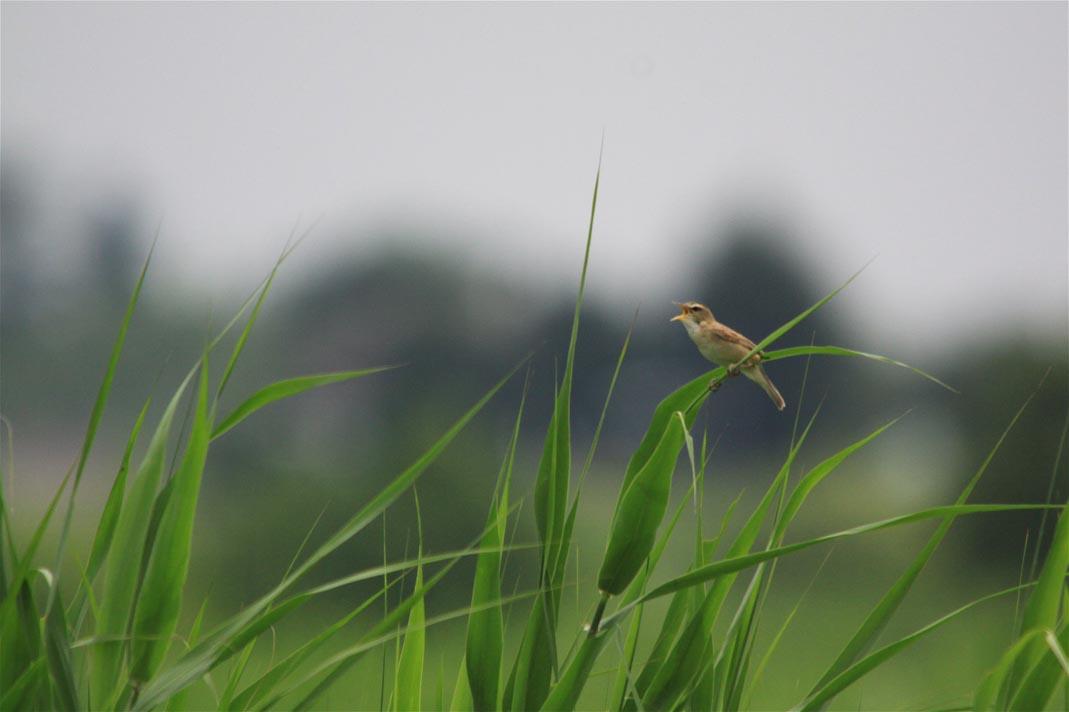 湿原のコヨシキリ_e0071967_23141453.jpg