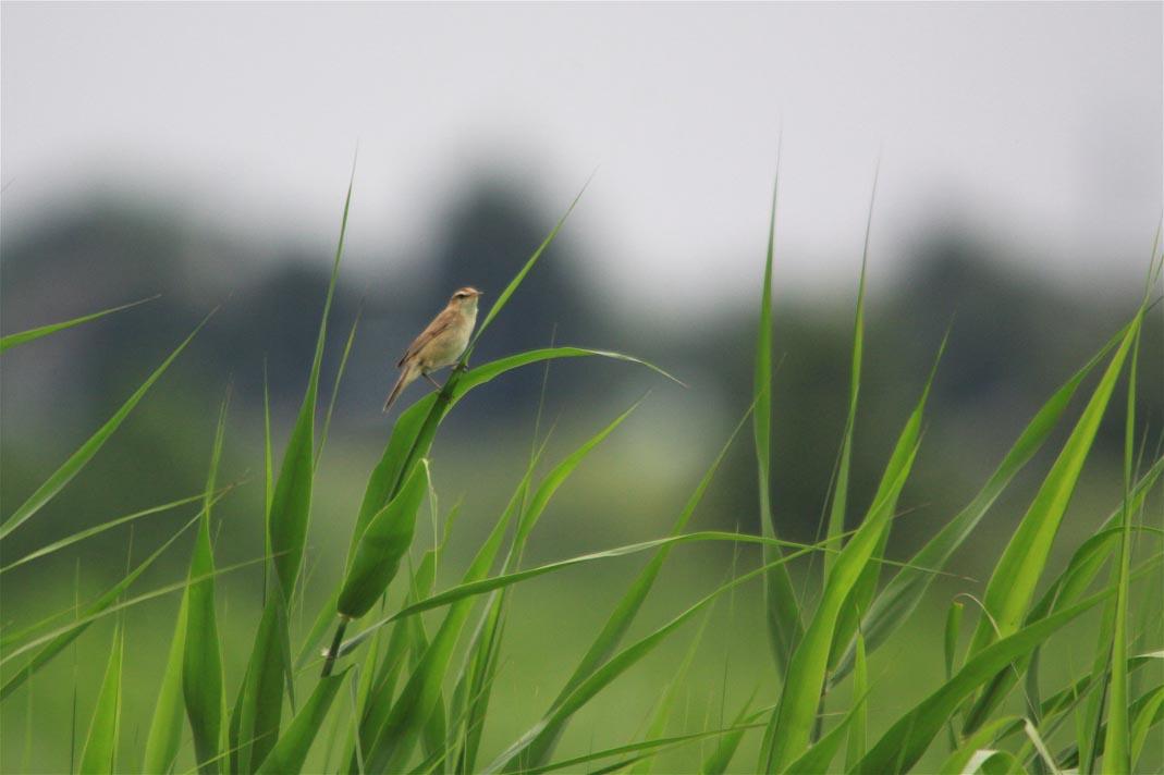 湿原のコヨシキリ_e0071967_2314211.jpg