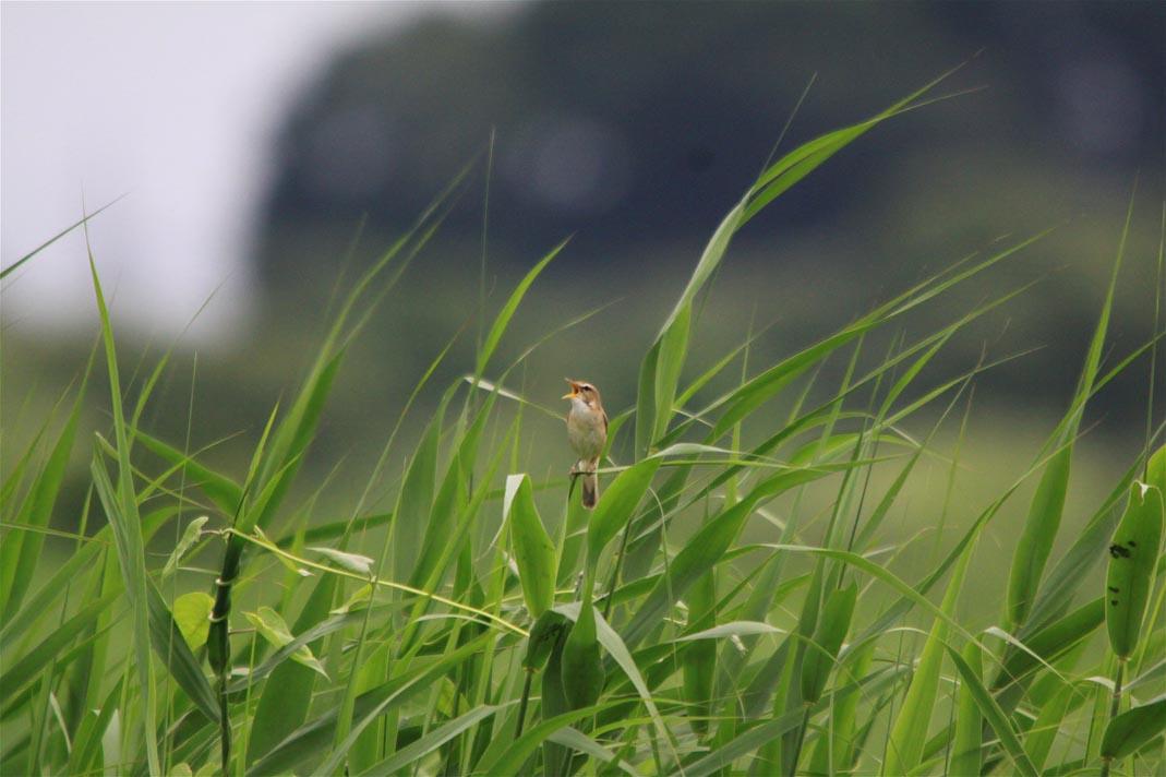 湿原のコヨシキリ_e0071967_23142682.jpg