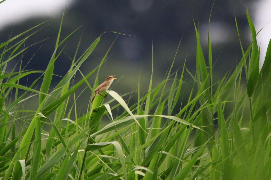 湿原のコヨシキリ_e0071967_23143810.jpg