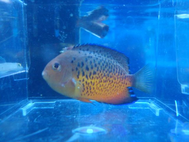海水魚・サンゴ・水草・熱帯魚・日本産淡水魚・金魚_f0189122_1835183.jpg