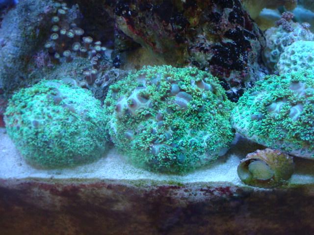 海水魚・サンゴ・水草・熱帯魚・日本産淡水魚・金魚_f0189122_18432968.jpg
