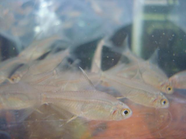 海水魚・サンゴ・水草・熱帯魚・日本産淡水魚・金魚_f0189122_18452781.jpg