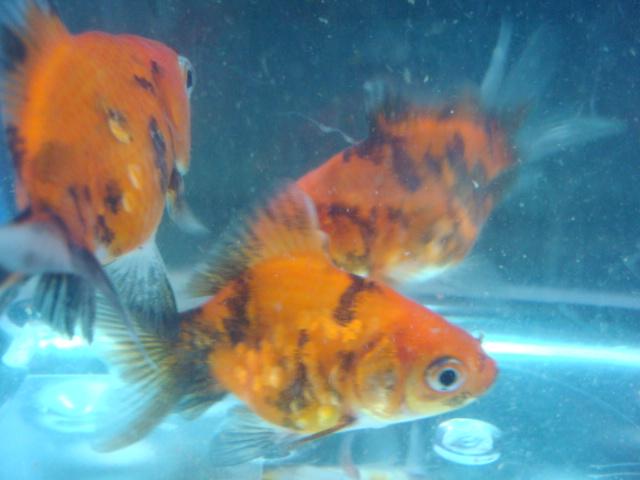 海水魚・サンゴ・水草・熱帯魚・日本産淡水魚・金魚_f0189122_1923769.jpg
