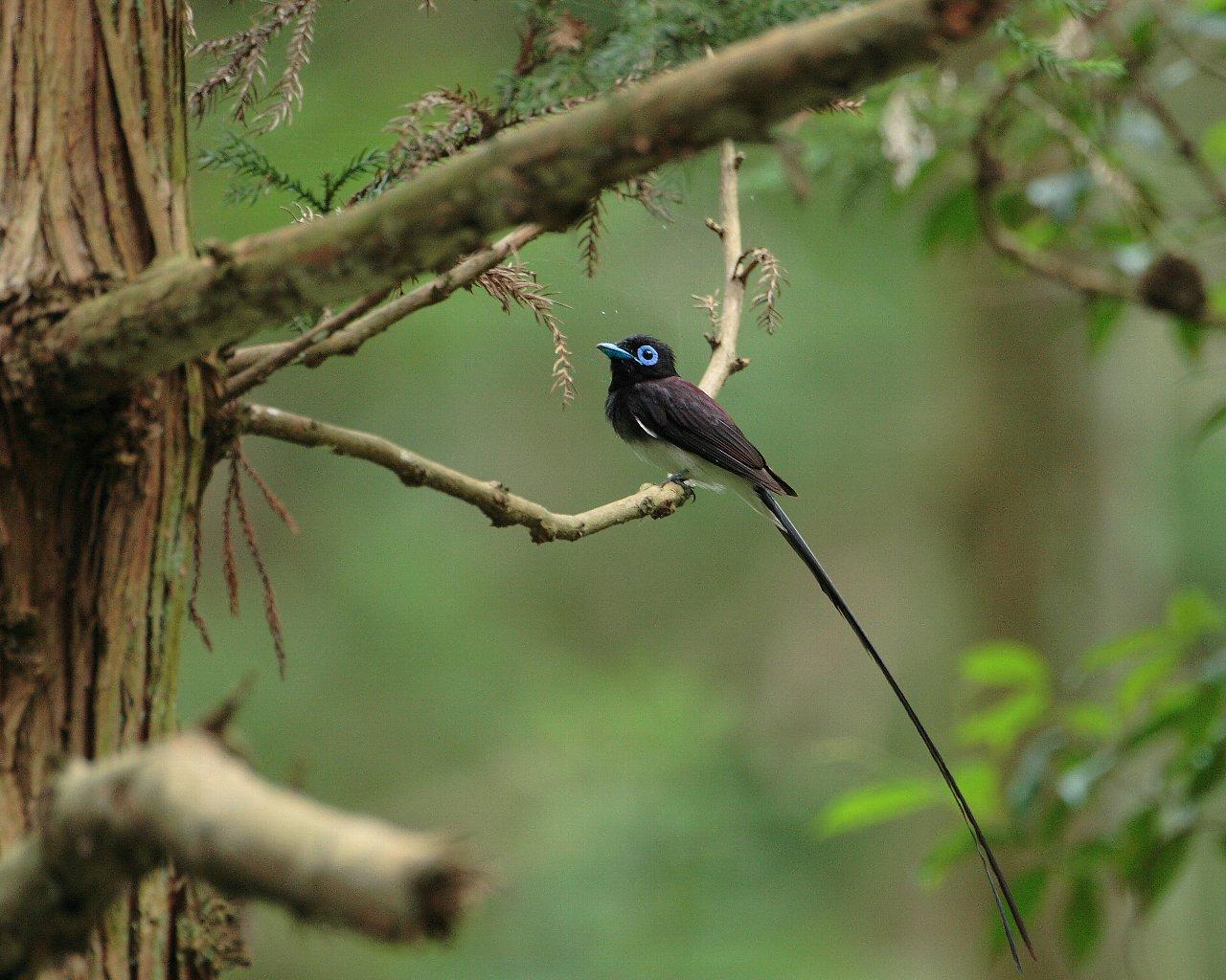 珍しく長い尾羽が綺麗に撮れました。_f0105570_2151173.jpg