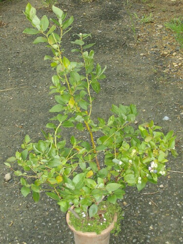 屋内促成栽培シャープブルーの二期目の実の色づき_f0018078_19152728.jpg
