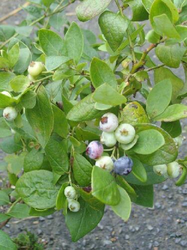 屋内促成栽培シャープブルーの二期目の実の色づき_f0018078_19155042.jpg