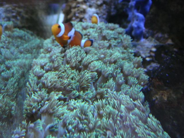 海水魚・サンゴ・水草・熱帯魚・日本産淡水魚・金魚_f0189122_13353131.jpg