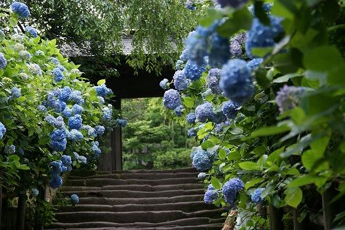 明月院の紫陽花_b0145398_1552754.jpg