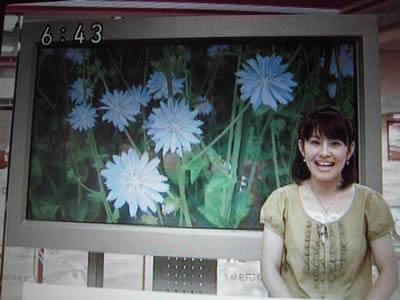 NHKほっとニュースでチコリの花_d0063218_2261767.jpg