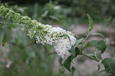 芳しい花です_a0129867_21292975.jpg