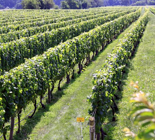 ロングアイランドのワイナリーで、美味しいワイン・テイスティング_b0007805_125843100.jpg