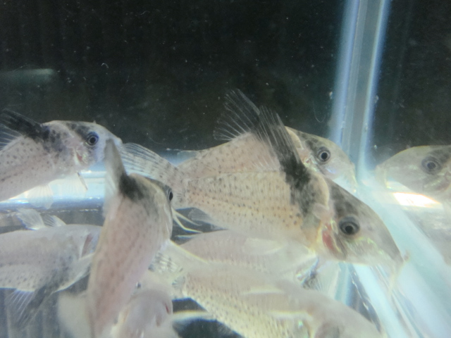熱帯魚・金魚・水草_f0189122_1537847.jpg