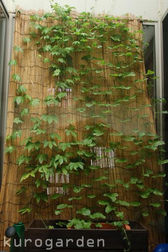 グリーンカーテン_e0119151_19474665.jpg