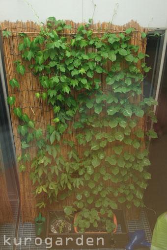 グリーンカーテン_e0119151_1948244.jpg