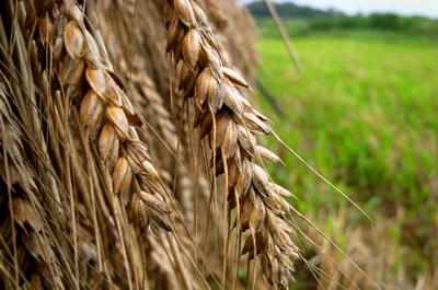 畑の小麦で、「玄麦酵母」をおこしてみる。_c0110869_20184159.jpg