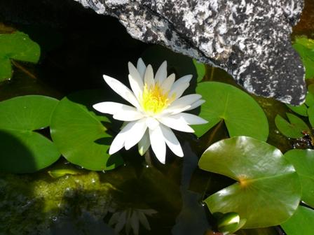 水連の花が咲きました。_c0177195_1153790.jpg