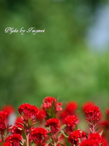 鶏冠花と_f0037633_163414.jpg