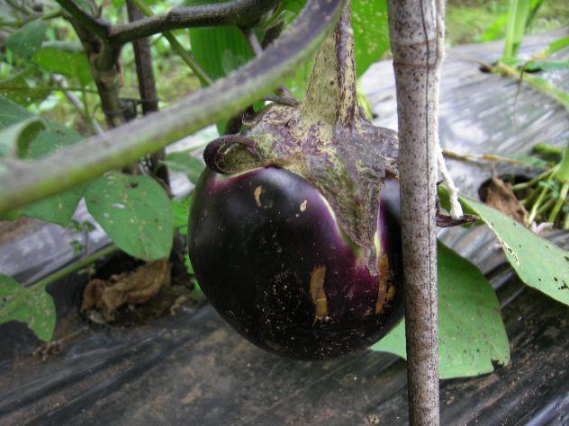 賀茂茄子を収穫しました_c0053863_2057341.jpg