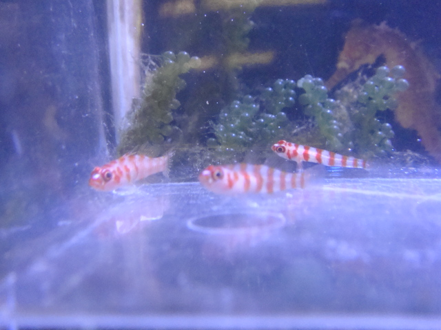 海水魚・サンゴ・水草・日本産淡水魚_f0189122_1144079.jpg