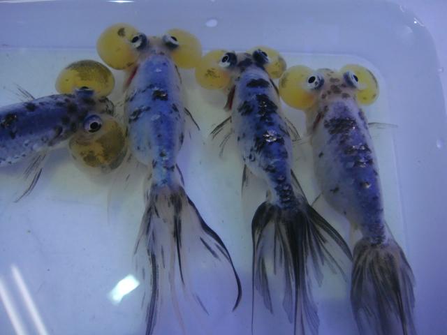 熱帯魚・金魚・水草_f0189122_12532748.jpg