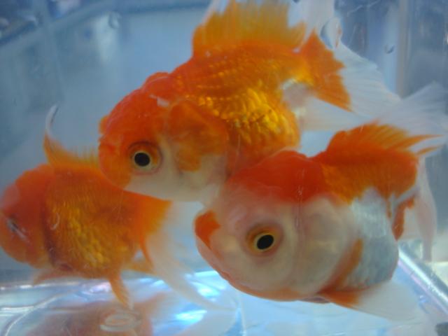 熱帯魚・金魚・水草_f0189122_13223100.jpg