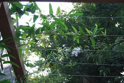 盛夏に咲く花…そして つる植物_c0124100_18445363.jpg
