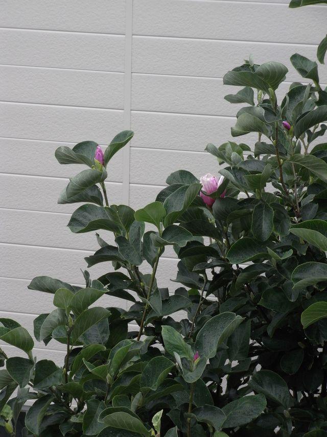 モクレンの二番花と壁に匍わせたノウゼンカズラの初開花_c0025115_19103070.jpg