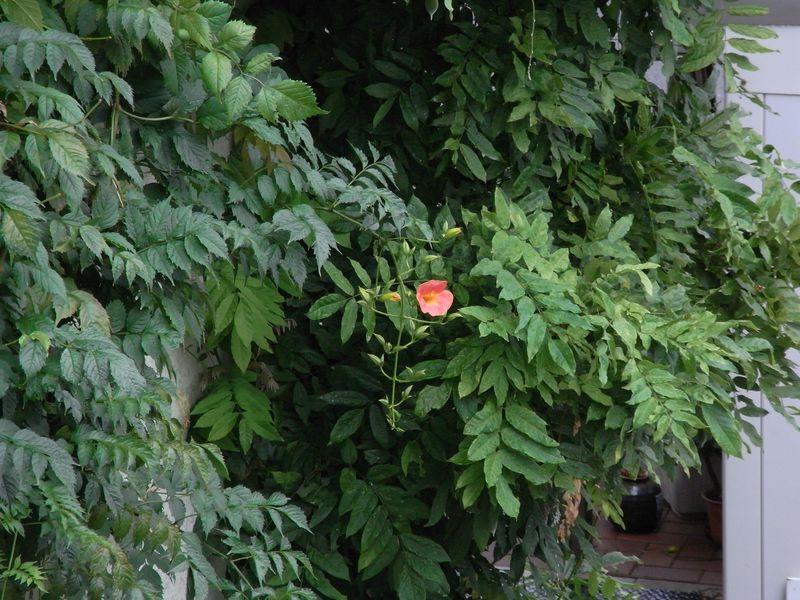 モクレンの二番花と壁に匍わせたノウゼンカズラの初開花_c0025115_19125889.jpg