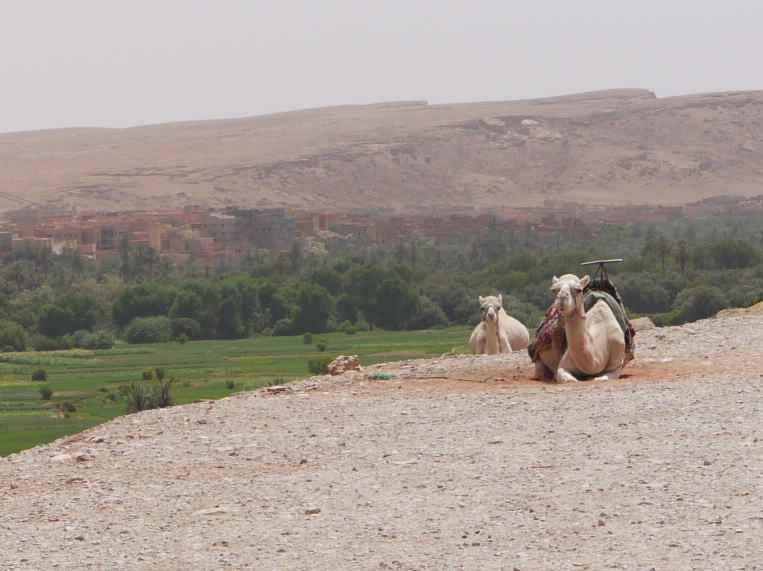 モロッコ3 砂漠でラクダ_a0042928_132952.jpg