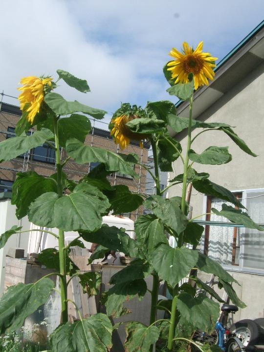 1068) 庭の風景 _f0126829_8244226.jpg