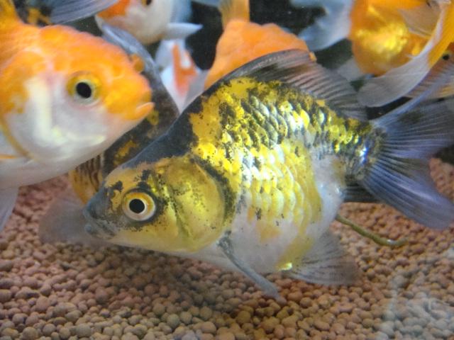 熱帯魚・金魚・水草_f0189122_1833116.jpg