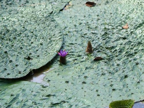 水元公園で蓮を。_e0089232_2364197.jpg