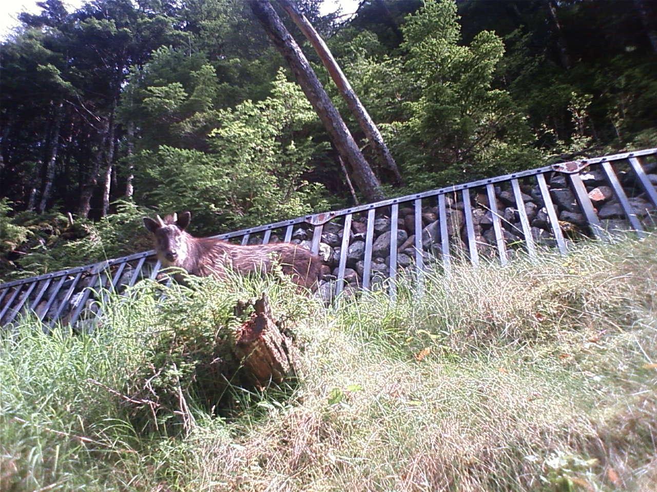 カモシカ An antelope_e0155231_13461494.jpg