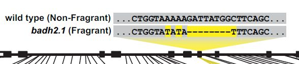 香り米はジャポニカ種で酵素遺伝子が壊れて生まれた_c0025115_1942697.jpg