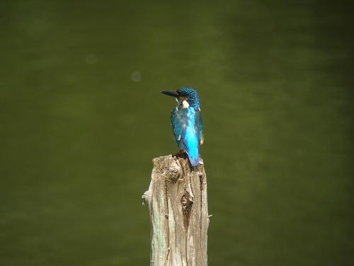 水元公園のバードサンクチュアリで出会った鳥(カワセミ編)_e0089232_22151032.jpg