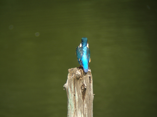 水元公園のバードサンクチュアリで出会った鳥(カワセミ編)_e0089232_2215231.jpg