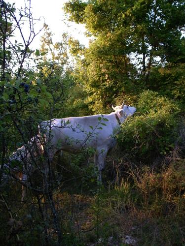 通りがかりの・・・「牛」_f0106597_2112629.jpg
