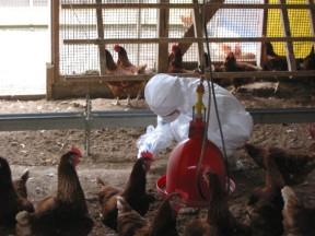 「鶏衛生検査」_a0120513_134115100.jpg
