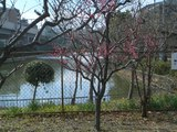 桃ヶ池公園の梅