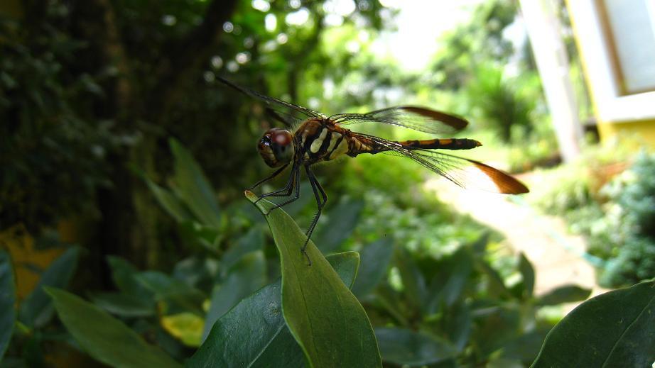 庭にノシメトンボ・オス(♂)飛来_a0107574_20123057.jpg