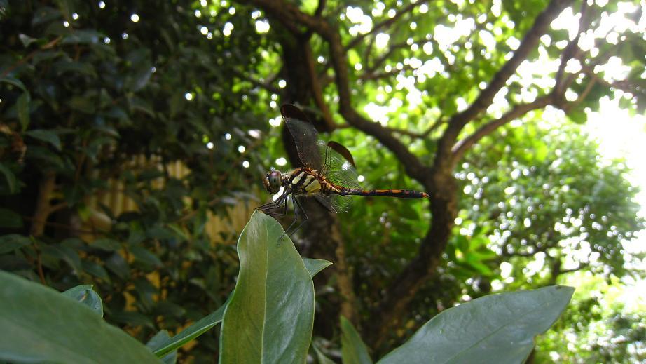 庭にノシメトンボ・オス(♂)飛来_a0107574_20125191.jpg