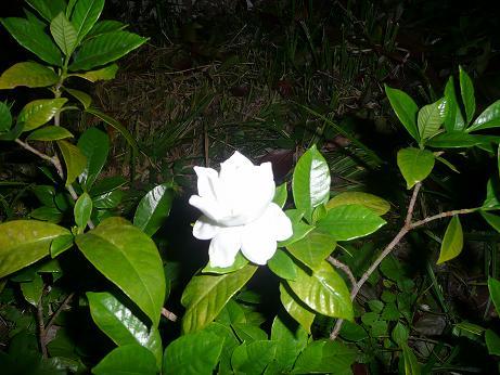 クチナシの花 & プルメリアその後_f0186787_22405983.jpg