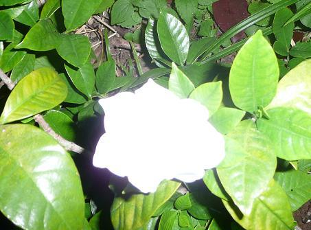 クチナシの花 & プルメリアその後_f0186787_2242276.jpg